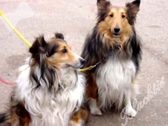 Shelties Monte and Cally are regulars at the North Metro day care program.